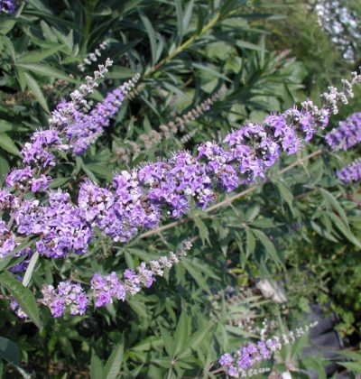 Vitex agnus-castus and Premenstrual Syndrome
